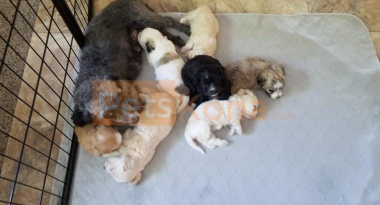 Maltipoo Pupppies