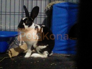 Bunny for sale witj pet accessories