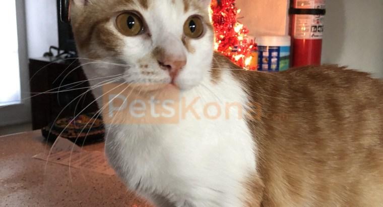 Munchkin Cat for free adoption