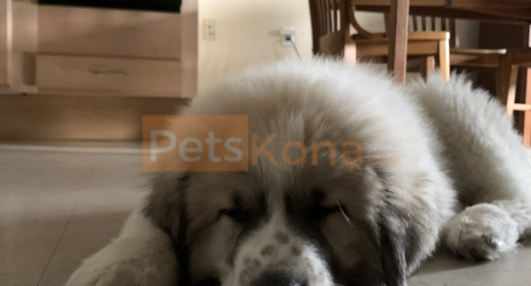 Great Pyrenees (Male) Puppy