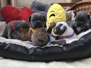 French Bulldog Puppies looking for good homes