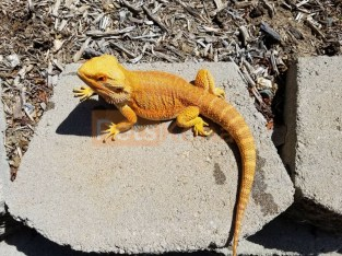 Bearded Dragon for sale!!