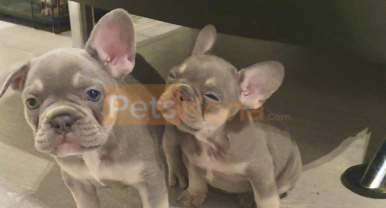 Tan French Bulldog puppies for rehoming