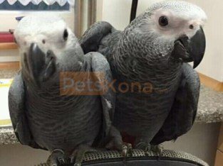 Cute babies African grey parrots for sale