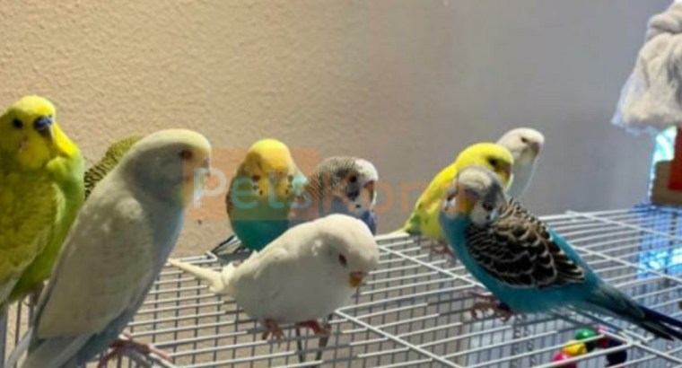 Budgies, love birds, parrots, cockatiels and various other birds available. Rabbits available too. Delivery all around Bangalore.