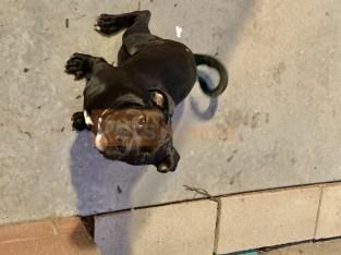 Pitbull/pug puppy