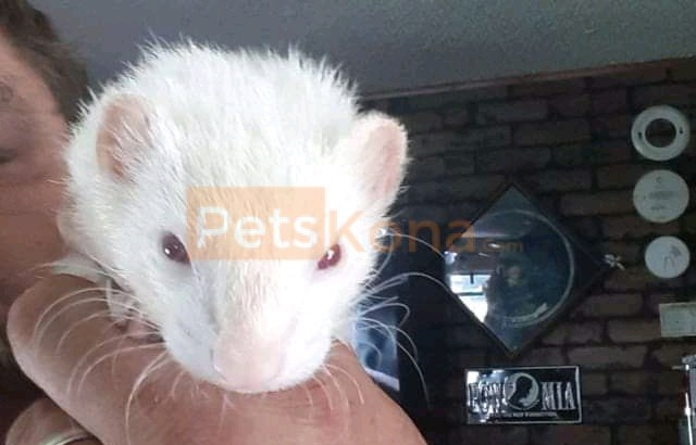 Ferret's for sale