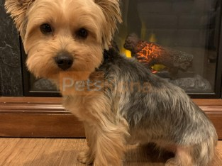 Sweet and Cuddly Female Yorkie