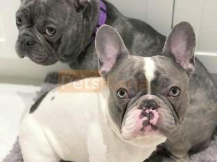 schöne männliche und weibliche französische Bulldogge zum Verkauf in der Nähe.