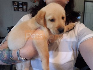 Playful and smart Labrador Retriever puppies for sale