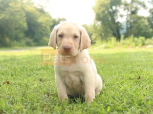 Fluffy AKC English Labrador Retriever puppies available