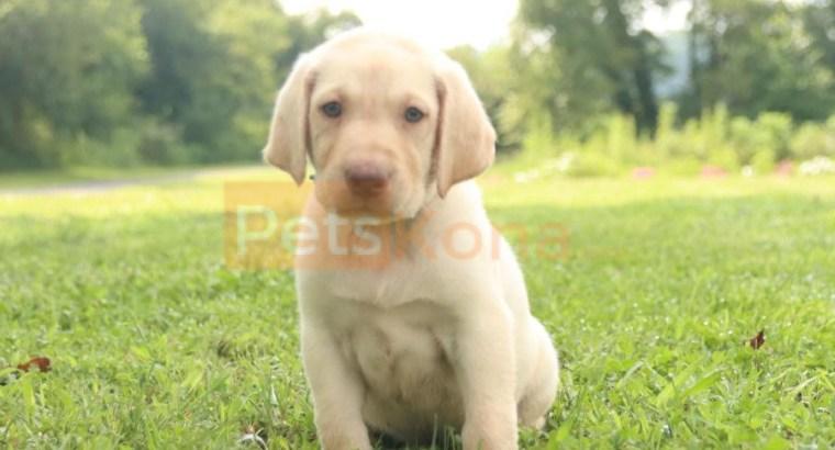Fluffy AKC English Labrador Retriever puppies available