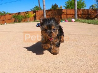 Beautiful yorkie puppi for sale