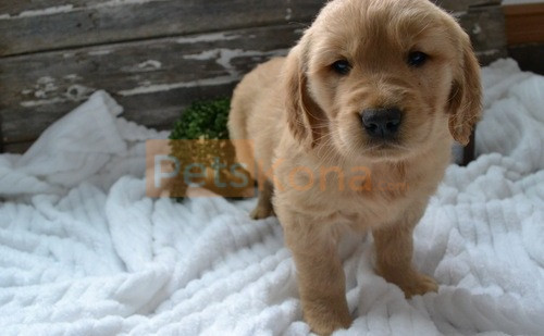 Healthy Golden Retriever Puppies For Sale