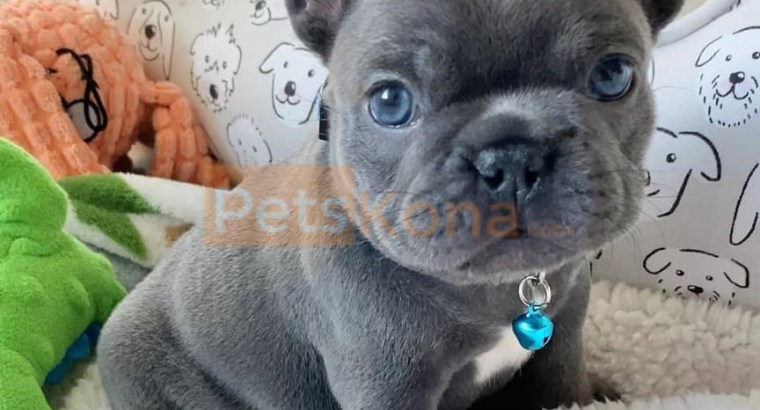 French Bulldog Puppies For Sale |*****s://sunshineteacuppuppieshome*****/