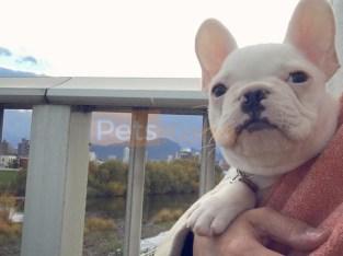 Beautiful French Bulldog Puppies Ready Now