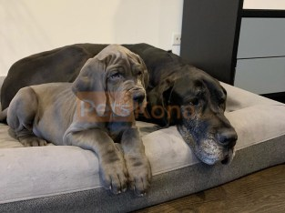 Great Dane puppies for Re-homing. Incredibly Sweet!