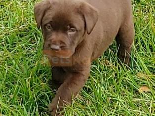 Akc reg Chocolate Labrador Retriever Puppies For Sale