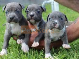 staffordshire bull terrier puppies for sale in UK