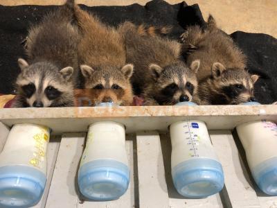 raccoon for sale
