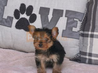 Yorkie puppies ready for their new homes