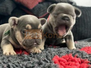 French bulldog puppies for sale cute