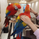 Super Tame Female And Male Scarlet Macaw Babies