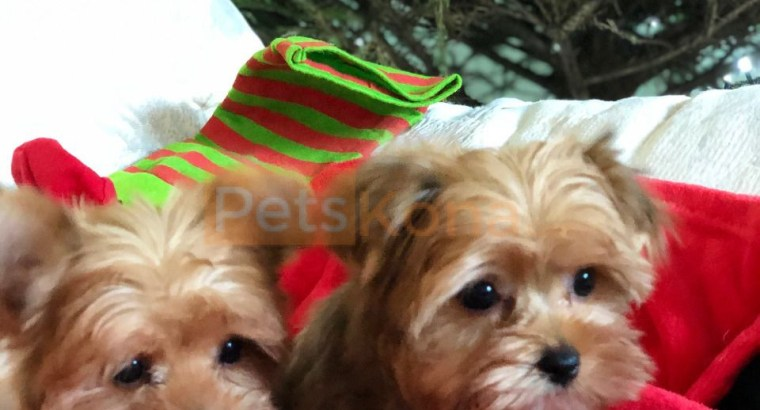 Beautiful Sable Colored Biewer terrier puppies,.