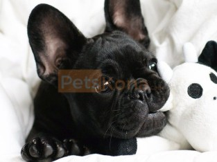 Adorable French Bulldogs puppies for Adoption