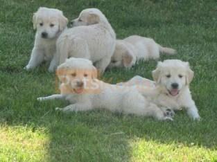 Quality Golden Golden retriever puppies for sale
