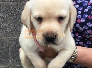 Labrador Puppies Available Here For Sell