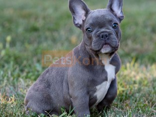 Beautiful Blue and White Pied French Bulldog Pups