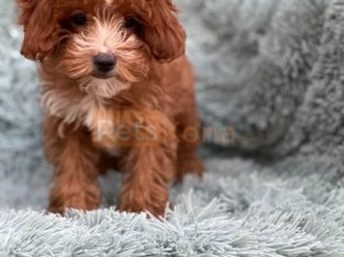 Outstanding Litter of Cavapoo puppies Available now.