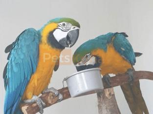 Handaufgezogener blauer und goldener Ara