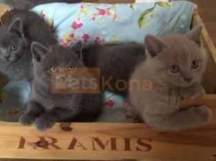 TICA Registered Purebred Grey British Short Hair Kittens