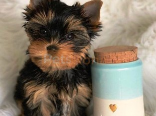 Cute and Marvelous Yorkshire Terrier Ready for New Home
