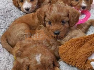 beautifull poodle puppies for sale