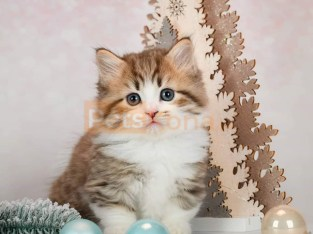 Trained Munchkin Kittens for sale