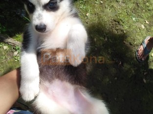 Blue Eyes Siberian Huskies Puppy's Ready
