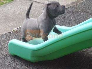 Kc Blue Staffs Pups