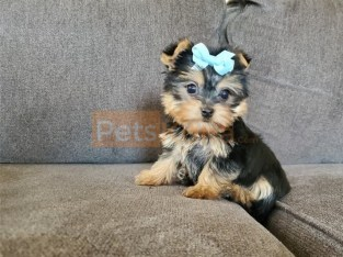 Yorkie and up-to-date on shots and deworming