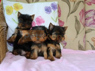 lovely Yorkie Puppies for sale Text :(551) 888 -3483