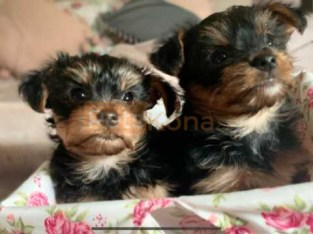Absolutely Stunning Beautiful Yorkshire Terrier