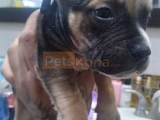 Beautiful Pitbull Pups