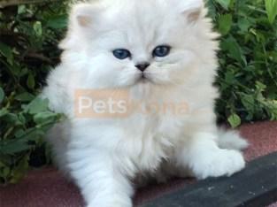 persian kitten checke..whatsapp me at: +447418348600