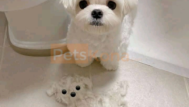 Maltese Puppies available!!!