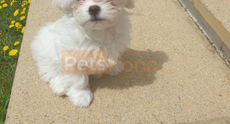 Lovely Maltese Puppies