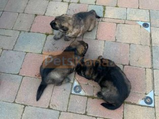 Pedigree Working Lines Gsd Puppies