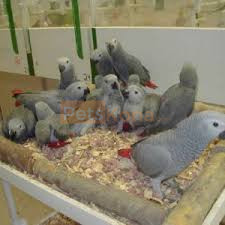 Get this adorable Amazon parrots, Blue and gold Macaw, African greys and others