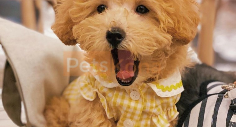 Lovely Mini Poodle puppy available